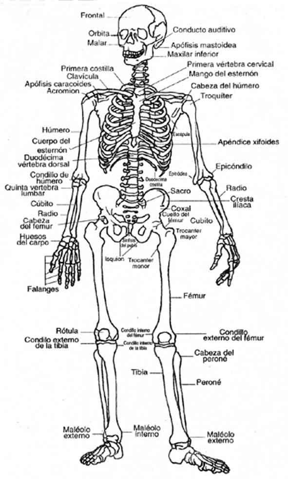 El Esqueleto Humano Para Imprimir - comentarios inteligentes sobre ...
