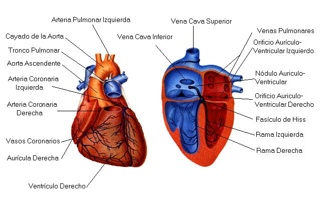 Como funciona el corazón, cuerpo humano para estudiar