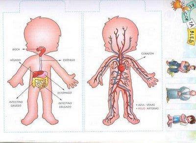 Cuerpo humano – Sistema digestivo y circulatorio, para niños