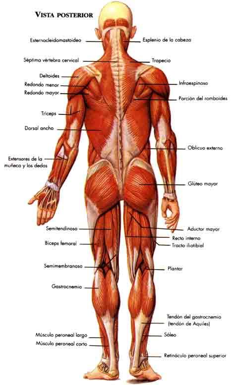 Cuerpo humano sistema muscular, recursos escolares para niños