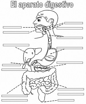 Ficha Para Completar El Aparato Digestivo Del Cuerpo Humano