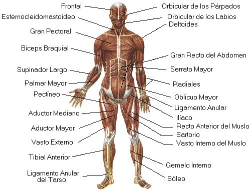 Anatomía de los músculos. Cuerpo humano para aprender
