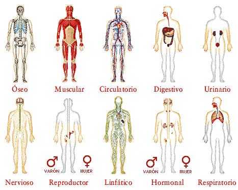 funcion organo cuerpo humano:
